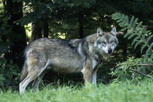 De wolf is teruggekeerd