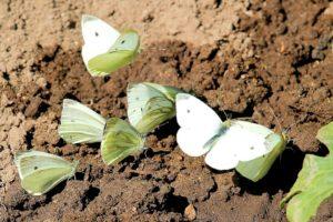 koolwitje,vlinder,dagvlinder,nachtvlinders
