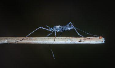 mug,muggen,mosquito,steekmug