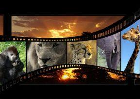 Cheetah dag